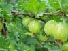 arbusti-fructiferi-gradina