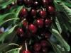 arbusti-fructiferi-soiuri
