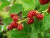 arbusti-fructiferi
