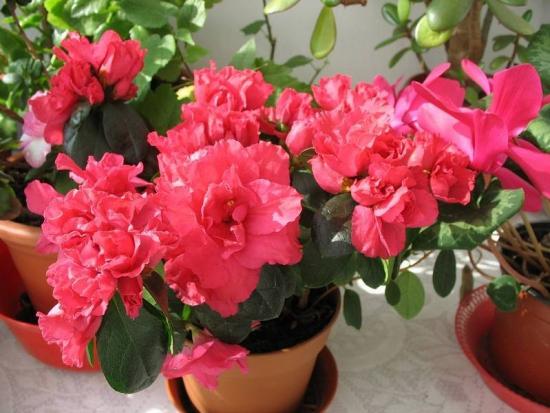 Azalee floare de gradina si balcon