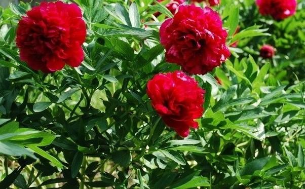bujori flori de gradina