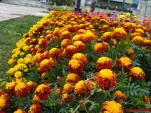 craitele flori de gradina