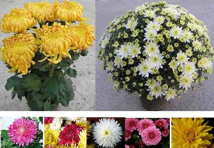 crizanteme flori de gradina