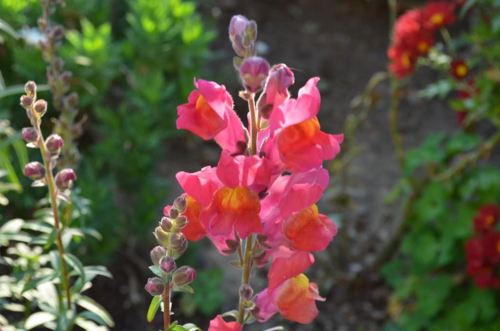 gura leului floare de gradina