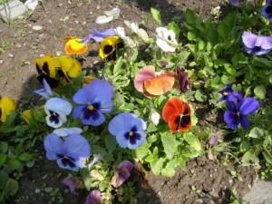 panselute flori de gradina