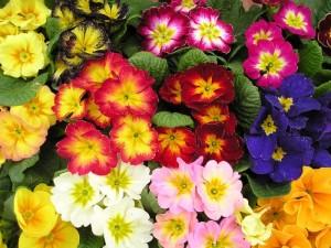 primule flori de gradina