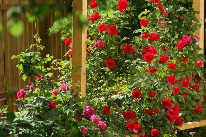 trandafirul de gradina