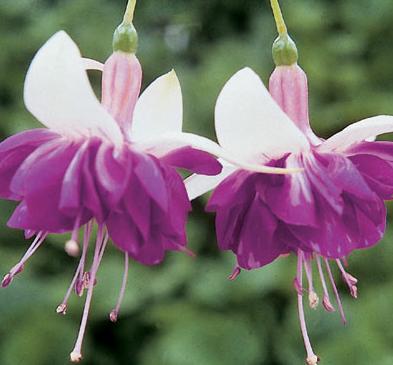 floare cercelus fuchsia