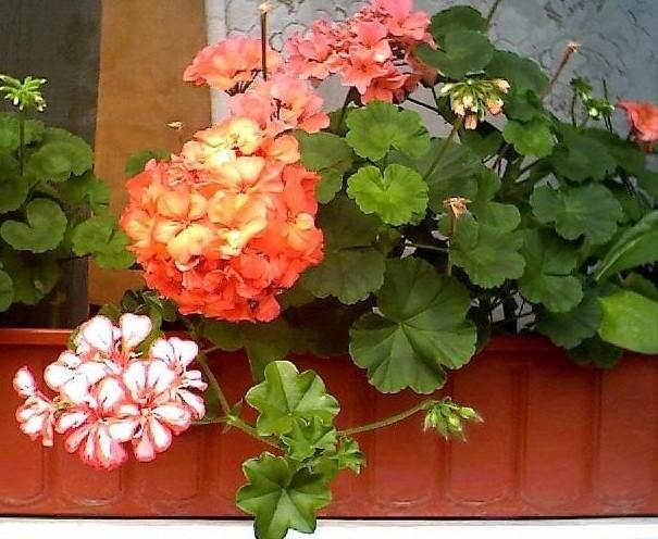 floare muscata curgatoare