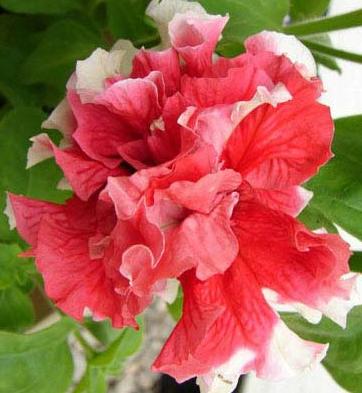 floare petunie curgatoare